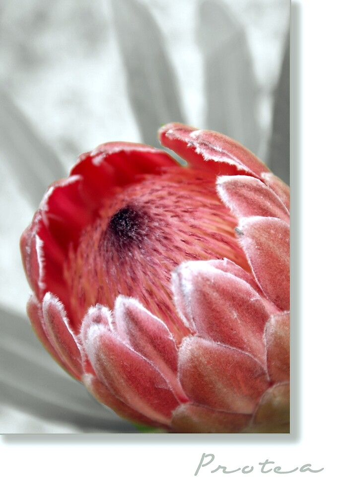 """""""Pink Ice"""" Protea by Holly Kempe"""