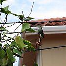 Hummingbird by edwardiangirl