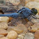 Blue Dragonfly by KraZyGuy78