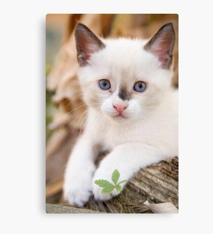 Cute white kitten Canvas Print