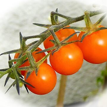Tomatoes in the garden......Lyme Dorset UK by lynn45