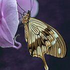 Papilio dardanus  by JBlaminsky