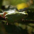 European tree frog by Steven Allain