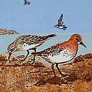 Red necked Stints by printsisters