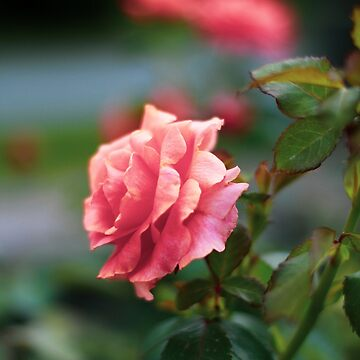 Pink Rose by pennyschiereck