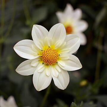 White flower by pennyschiereck