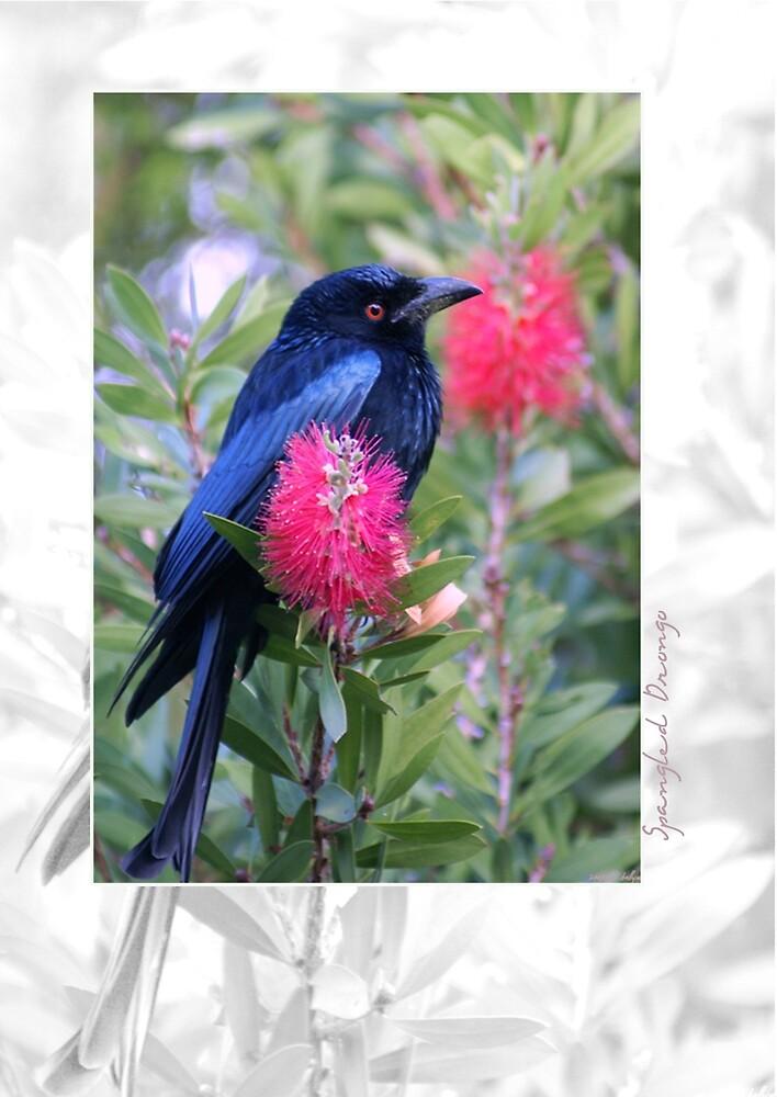Australian Birdlife - Spangled Drongo by Holly Kempe