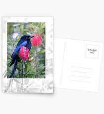 Australian Birdlife - Spangled Drongo Postcards