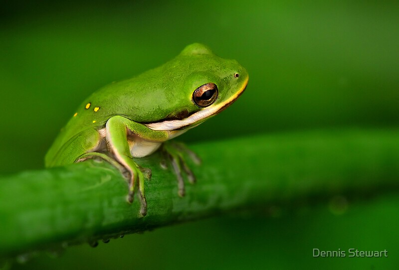"""American Green Tree Frog "" by Dennis Stewart | Redbubble"