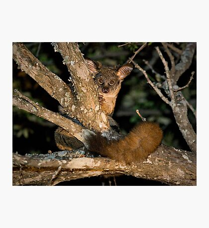 Greater Bushbaby Photographic Print