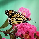 Monarch II by Colleen Drew
