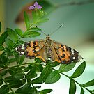Painted Lady by Colleen Drew