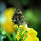 Painted Lady on Yellow Flower by Colleen Drew