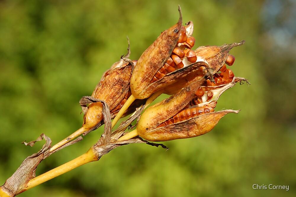 Yellow Flag Iris - Seed Pods by Chris Corney