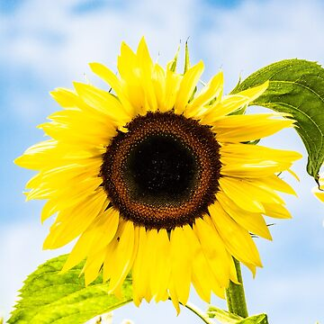 Sunny Sunflower by teapotore