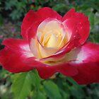 Summer Rose by Ana Belaj