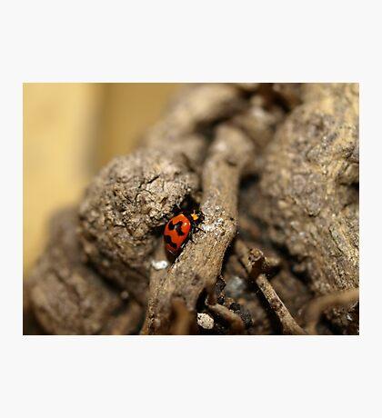 Lady beetle Photographic Print