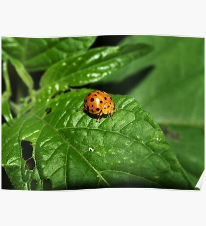 Fake Lady Beetle Poster