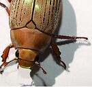 Christmas Beetle by Jason Dymock Photography