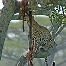 Serengeti Leopard Kill, Tanzania, Africa by Adrian Paul