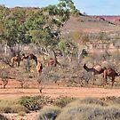 Wild Camels by TheGratefulDad