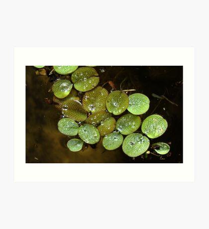 Water Spangles (Salvinia) After the Rain Art Print