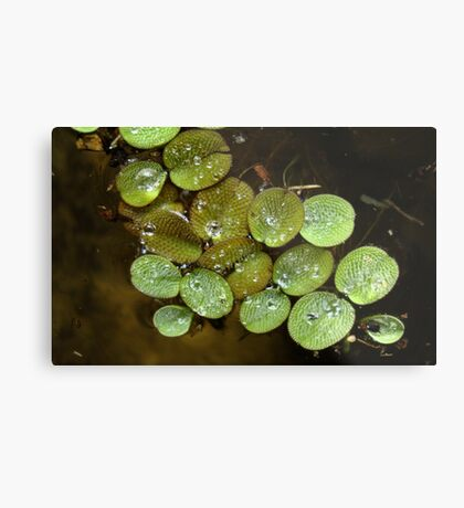 Water Spangles (Salvinia) After the Rain Metal Print