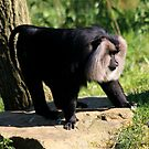 Lion-tailed Macaque by Anne-Marie Bokslag