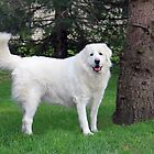 Sacha my beautiful Great Pyrenean Mountain dog. by vette
