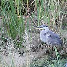 Blue Heron by zahnartz