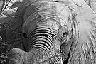 Elephant Stare by Michael  Moss