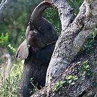 Baby Elephant Peekaboo by Michael  Moss