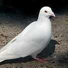 White Dove by Gene  Tewksbury