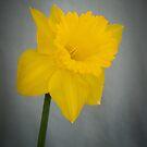 Daffodil by Pauline Tims