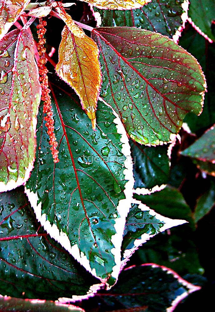 Acalypha Wilkesiana (Match Me If You Can) SOLVED in 11 guesses by Bubblehex  by triciamary