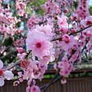 Cherry Blossom Time by Lorraine Wilson