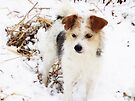 ~Decker, playing in the snow~ by NatureGreeting Cards ©ccwri
