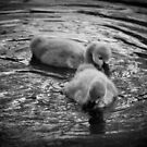 Cygnets by fab2can