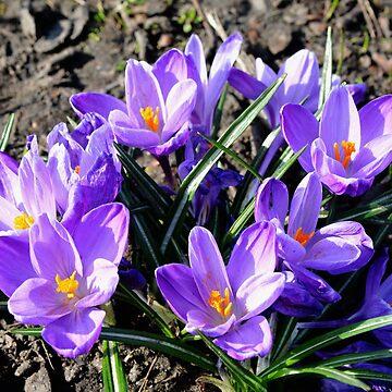Beautiful Spring Crocuses by Retiree