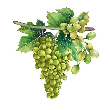 Watercolor bunches of white grapes hanging on the branch by Glazkova