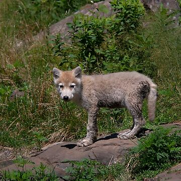 Timber wolf pup by darby8