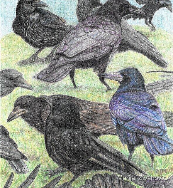 Corvus family by Marija  Zivanovic
