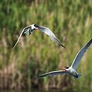 Two Terns in Flight by TJ Baccari Photography