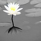 Water Lilly by PgPphotography