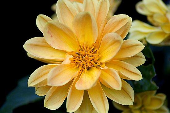 Yellow burst by Steve plowman