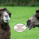 Camel Talk !!! by AnnDixon