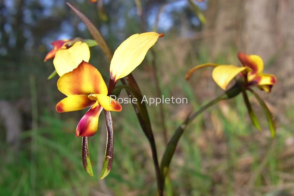 Donkey orchid (Diuris orientis) by Rosie Appleton