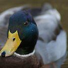 Quack by Gillen