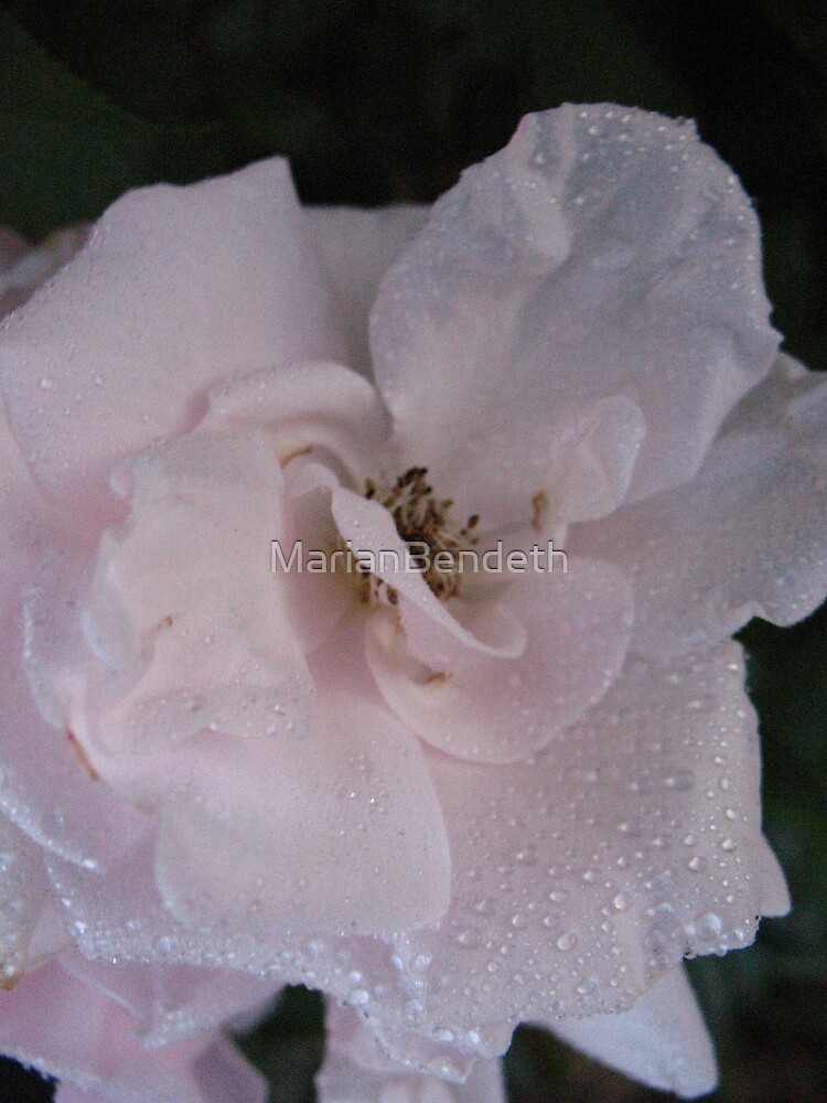 A slip of a Rose by MarianBendeth
