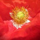 Poppy Cradle by Valerie Anne Kelly